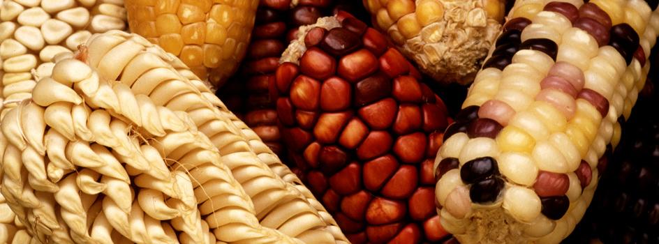 Ministerio del Ambiente difunde los avances en la clasificación del maíz con fines de bioseguridad