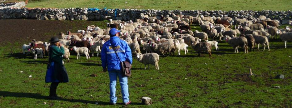 SENASA presenta resultados de estudio sobre animales en Espinar, provincia de Cusco