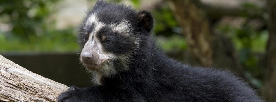 Perú aprueba el primer Plan Nacional para conservar a la única especie de oso en Sudamérica
